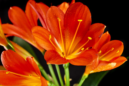 orange lily: orange color flowers of lily clivia isolated on black background