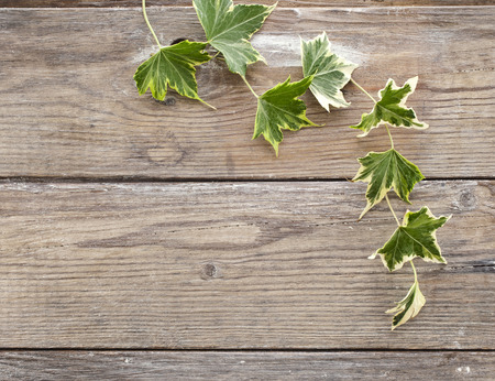 Green ivy plant Hedera helix close up in wooden surface background with copy space for your text photo