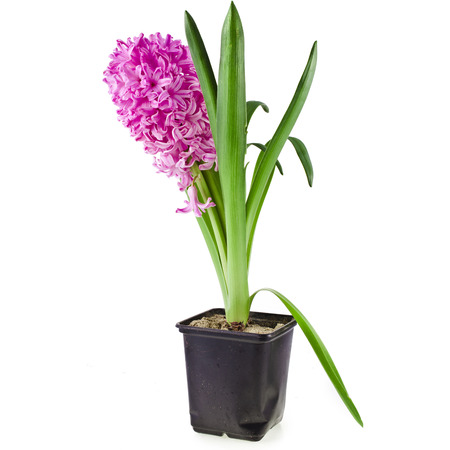 Beautiful Pink Hyacinth flower potted isolated on white background photo
