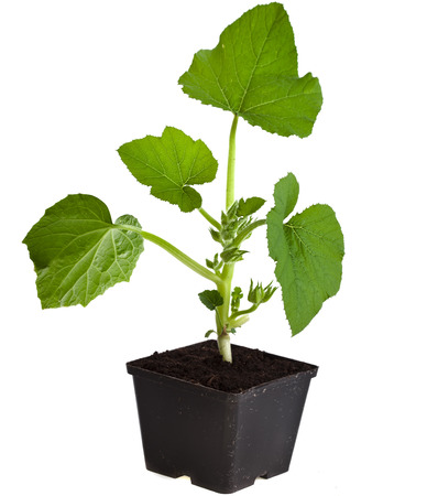 cucumber seedling in black flower pot isolated on white background photo
