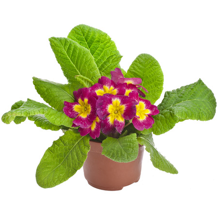 polyanthus: Spring flower primrose primula in flowerpot close up macro isolated on white Stock Photo
