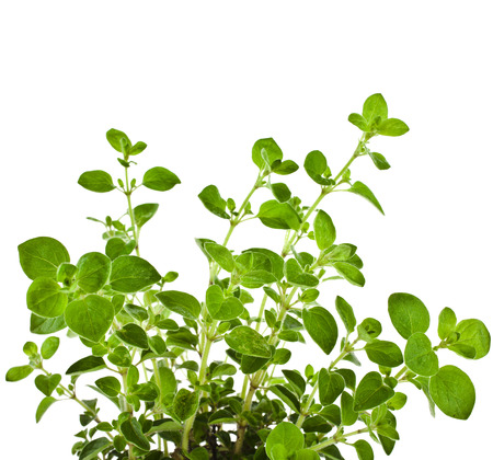 marjoram: fresh flavoring Herb Marjoram  origanum majorana   isolated on white background