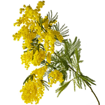mimosa: branch mimosa acacia flowers isolated on white background Stock Photo