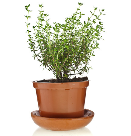 Bunch fresh green thyme herb growing in brown flower pot isolated on white photo