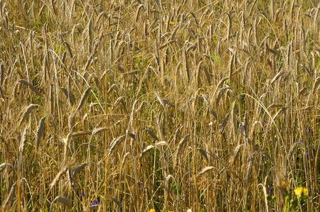 Rye field bunch photo