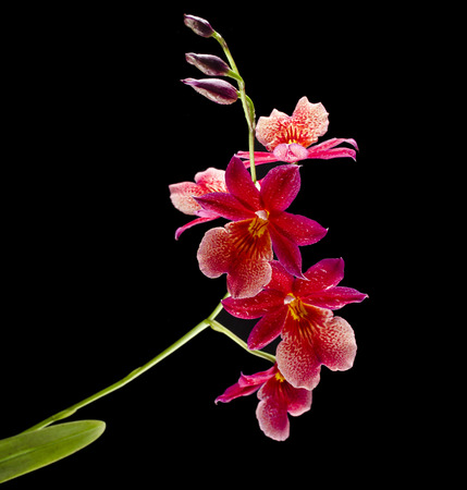 Orchid Cambria Burrageara isolated on black background photo