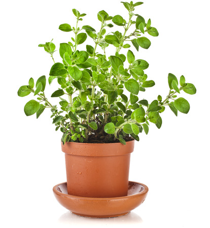 origanum: fresh flavoring herbs oregano in brown flower pot isolated on white background