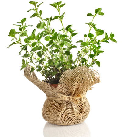 fresh vegetable oregano herb growing in brown terracotta pot isolated on white background photo