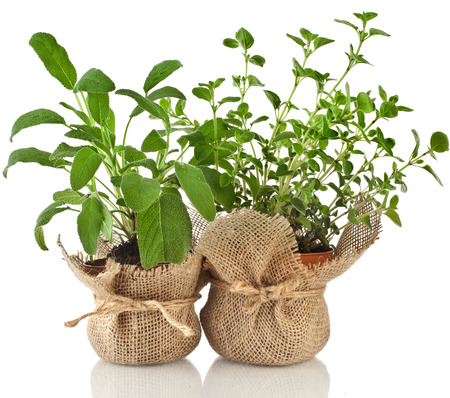 Young fresh vegetable herbs sprout seedling in brown terracotta pot isolated on white background Standard-Bild