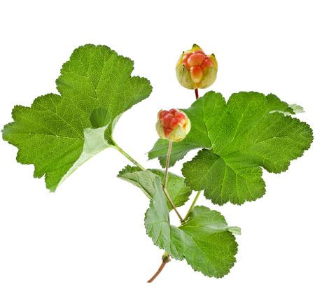 rubus: fresh cloudberry   Rubus chamaemorus  plant bush isolated on white background Stock Photo