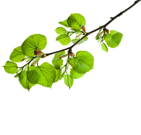 lime blossom: spring branch with fresh green leaves isolated on white background