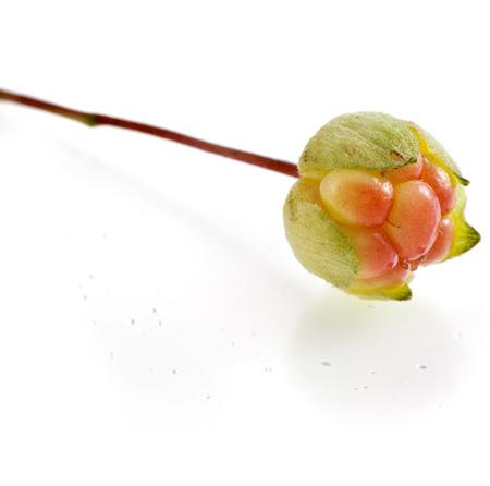 chicout�: Simples chamaemorus frais chicout� Rubus close up macro isol� sur fond blanc Banque d'images