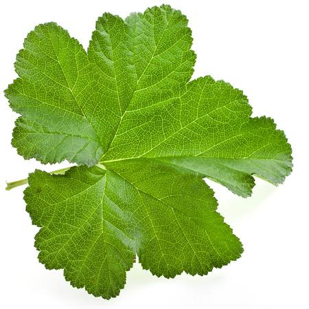chicouté: Une seule feuille verte de chicouté Rubus buisson usine de chamaemorus isolé sur fond blanc Banque d'images