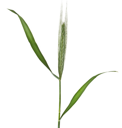 Fresh green herb grass with a spike ears isolated on white background photo