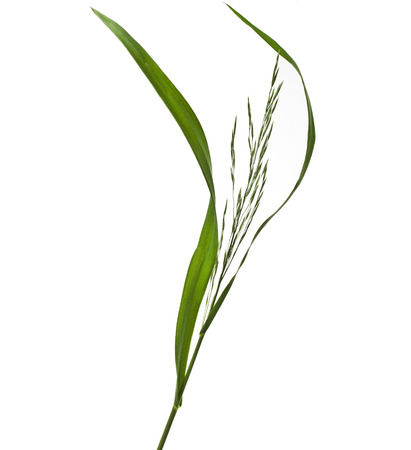 Fresh green herb grass with a whisk isolated on white background photo