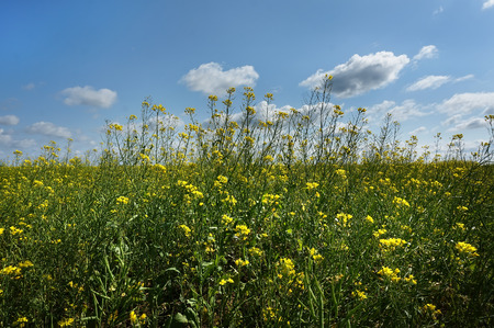mustard field: Rapeseed field on a blue sky background