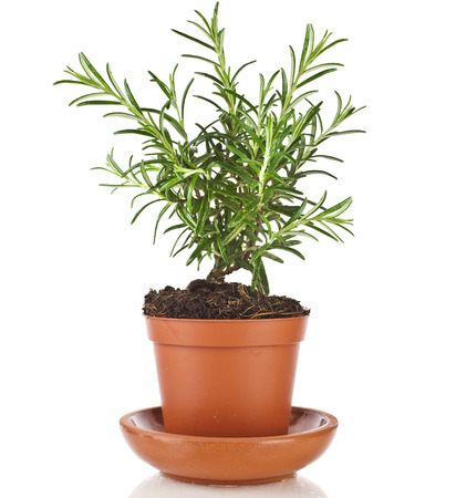 rosemary flower: Savory fresh herb rosemary growing in brown flower pot isolated on white