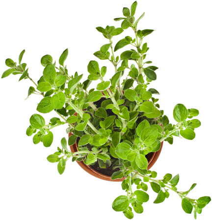 spicy plant: fresh flavoring herbs oregano in brown flower pot top view isolated on white background