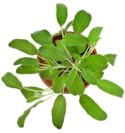 Bunch fresh green sage growing in brown flower pot top view isolated on white photo