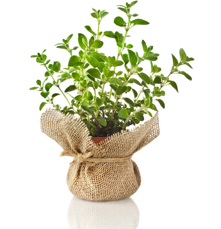 Fresh oregano herb seedling in terracotta flowerpot wrapping bag cloth isolated on white background photo