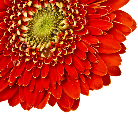 Gerbera flower head close up macro with water drop isolated on white background photo
