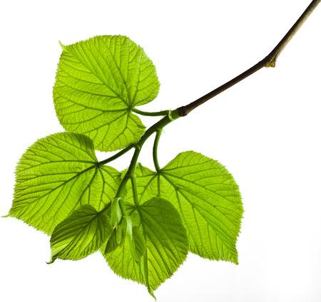 Lente tak met verse groene bladeren geïsoleerd op witte achtergrond Stockfoto - 29737155