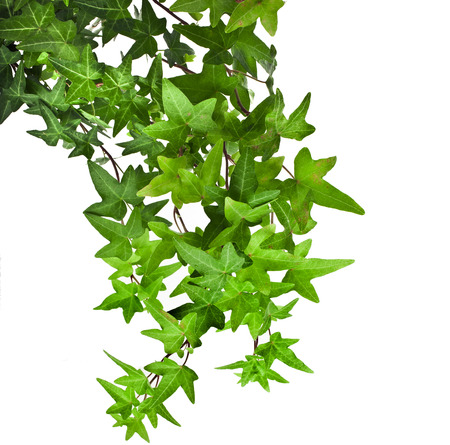 ivy wall: Green ivy plant close up isolated on white background Stock Photo