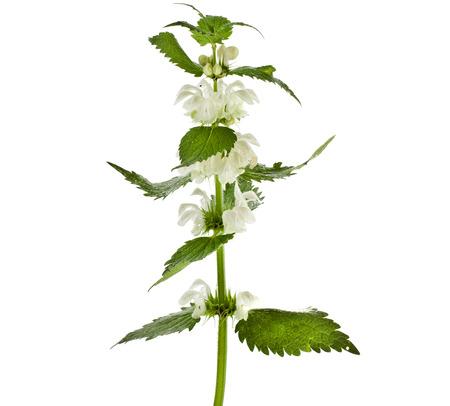 Nettle flowering  Lamium album  isolated on white background photo