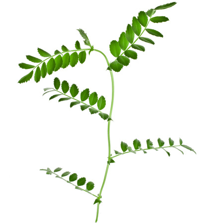 Green young pea plant sprouts isolated on white background photo