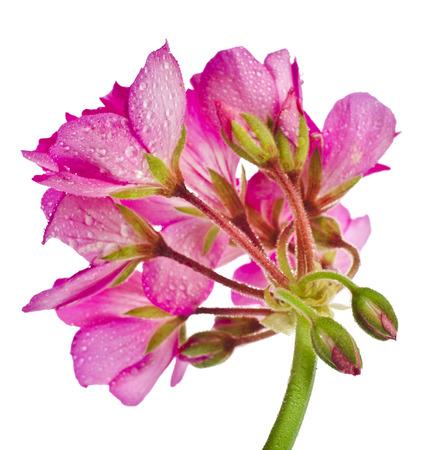 Geranium Pelargonium Flowers isolated on white background photo