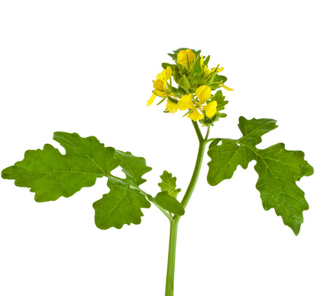 mustard plant: Mustard blooming plant   Brassica nigra  isolated on white background