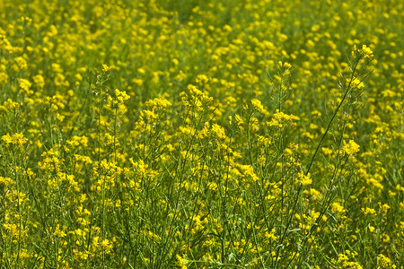 Rapeseed field on summer day photo