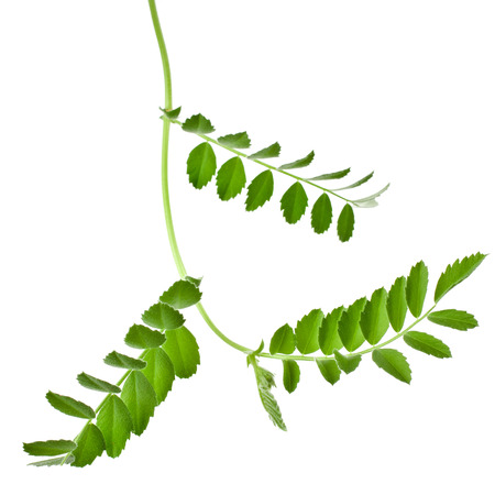 Green young pea sprouts isolated on white background photo