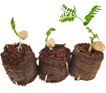 Growing peas seedlings in peat tablet pot isolated on white background photo