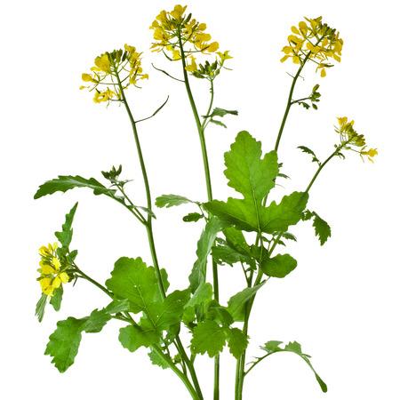 マスタード咲く植物 Brassica の黒白い背景で隔離