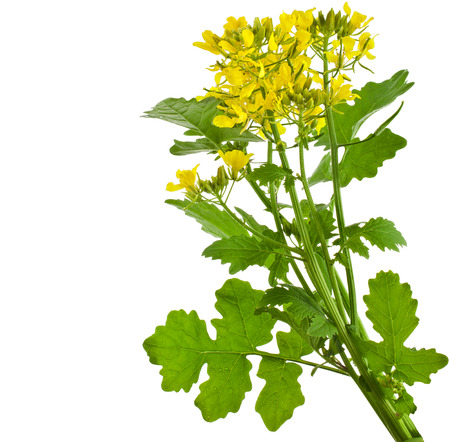 Mustard blooming plant   Brassica nigra  isolated on white background photo