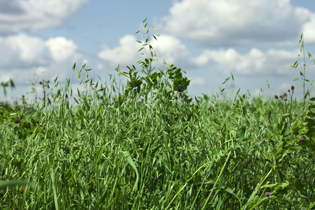 close up green oat field on summer day with blue sky background photo