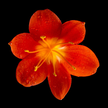 single flower head bud of lily clivia kind close up macro shot isolated on black background photo