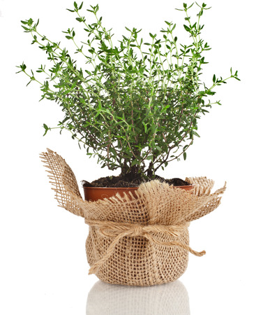 Young fresh vegetable thyme sprout seedling in brown terracotta pot wrapping bag cloth isolated on white background photo