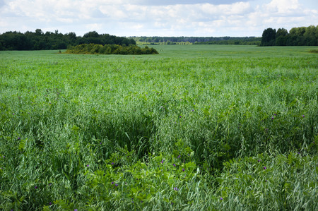 green large oat field on summer day with blue sky background photo