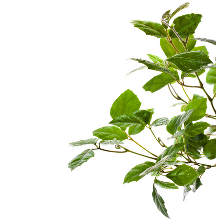 cirrus: border of brunch of grassy green indoor plant cissus  isolated on white background