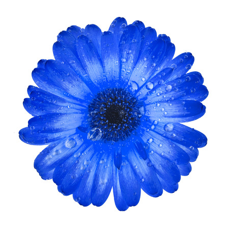 blue daisy: Gerbera flower close up with water drop isolated on white background