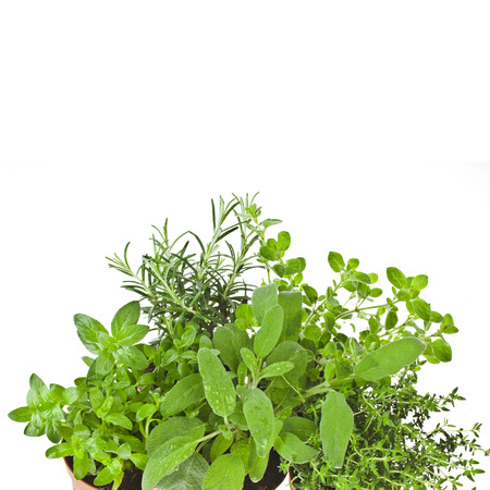 Useful herbs close up in flower pot i isolated on white background photo