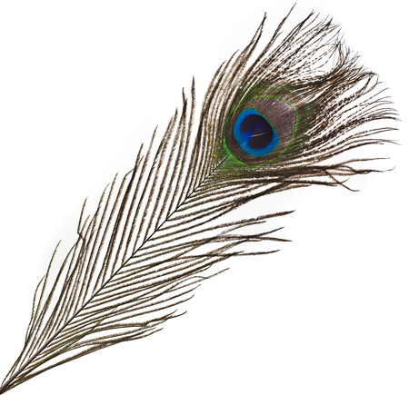 peacock eye: peacock feather plume isolated on white close-up