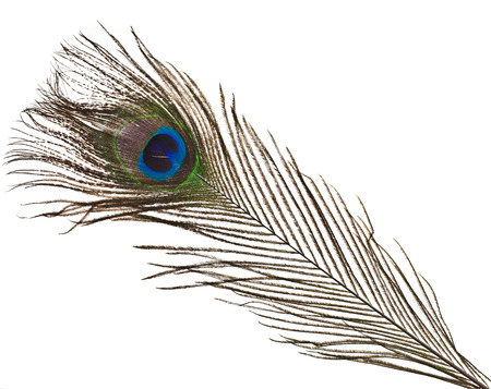 peacock feather: peacock feather plume isolated on white close-up
