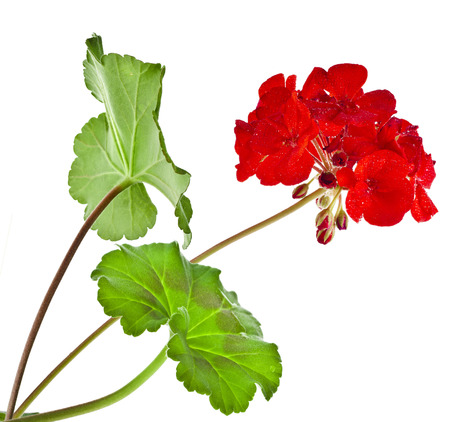 Zonal Geranium Flowers with copy space for text on white background photo