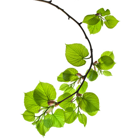 Spring twig with green leaves isolated on white background Stock Photo