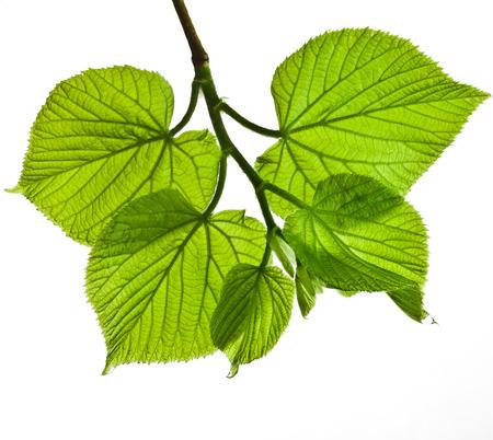 tilo: primavera rama con hojas verdes y frescas aisladas sobre fondo blanco Foto de archivo
