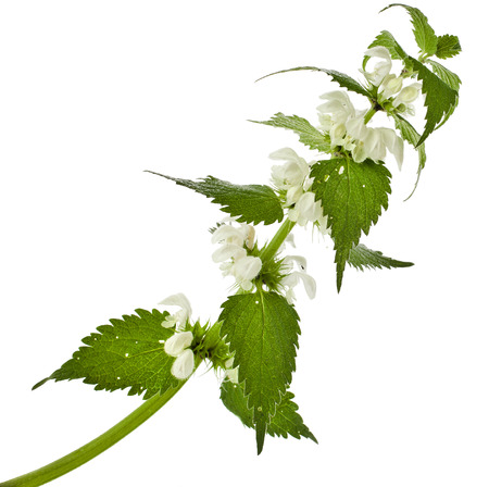 nettle: Nettle flowering isolated on white background Stock Photo