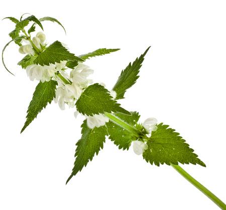 Nettle flowering  Lamium album  isolated on white background